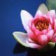 wasser lotus